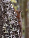 爬一棵白桦树树的红松鼠 库存图片
