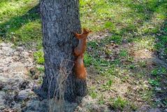 爬上在春天森林里的红松鼠 库存图片