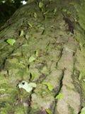 爬上树的叶子切削刀蚂蚁 库存照片