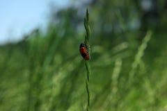 爬上草的红色臭虫 免版税库存照片