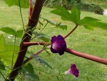 爬上蓖麻籽植物的牵牛花藤 库存图片