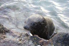爬上从岩石的海狮 免版税库存图片