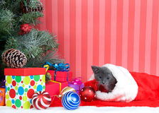 爬出圣诞节长袜的灰色平纹 图库摄影