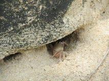 爬出孔的螃蟹从石头下面 免版税图库摄影