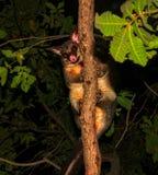 爬在昆士兰雨林的共同的Brushtail负鼠Trichosurus vulpecula一棵树在晚上 库存照片