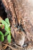 爬在狂放, AZ,美国的塔兰图拉毒蛛一棵树 库存图片