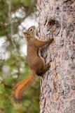 爬好奇逗人喜爱的红松鼠结构树的美国人 免版税图库摄影