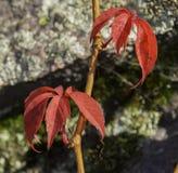 爬山虎属quinquefolia (爬行物)植物在秋天 图库摄影