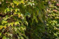 爬山虎属tricuspidata'Veitchii'或波士顿常春藤特写镜头  图库摄影
