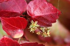 爬山虎属tricuspidata在秋天,波士顿常春藤,葡萄常春藤 库存图片