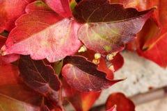 爬山虎属tricuspidata在秋天,波士顿常春藤,葡萄常春藤 免版税图库摄影