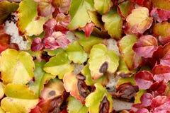 爬山虎属tricuspidata在秋天,波士顿常春藤,葡萄常春藤 图库摄影