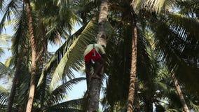 爬收获椰子的印地安人一棵棕榈树 股票视频