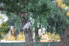 爬树的小公山羊 免版税库存照片