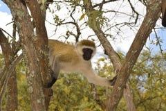 爬树的黑长尾小猴 免版税图库摄影