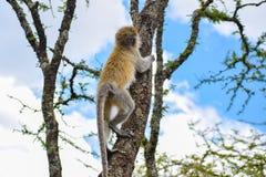 爬树的黑长尾小猴 免版税库存照片