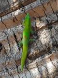 爬棕榈树的绿色壁虎 免版税图库摄影