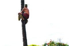 爬椰子树的一个玻利尼西亚人 免版税库存照片