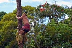 爬椰子树的一个玻利尼西亚人 库存图片