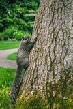 爬结构树的灰鼠 库存照片