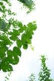 爬藤葡萄树 免版税库存照片