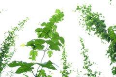 爬藤葡萄树 图库摄影
