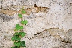 爬行一个石墙的常春藤 免版税库存图片