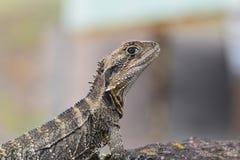 爬行动物在澳大利亚 库存图片