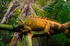 爬行动物鬣鳞蜥蜥蜴 免版税库存图片