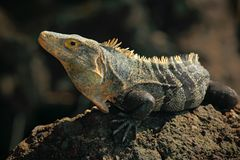 爬行动物黑鬣鳞蜥, Ctenosaura similis,坐黑石头 免版税库存图片