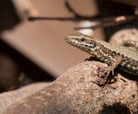 爬行动物-蜥蜴 库存图片