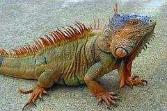 爬行动物-鬣鳞蜥 库存图片