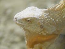 爬行动物Lizzard 图库摄影