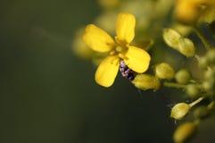 爬行在一朵小的黄色花的一只微小的甲虫 库存图片
