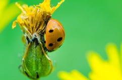 爬行在一朵黄色花的七被察觉的瓢虫 库存照片