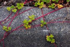 爬行在一条水泥小路的红色藤植物 免版税库存图片