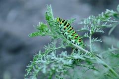 爬行在一根稀薄的绿色枝杈的毛虫 库存照片