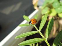 爬行在一片绿色叶子的一只小的瓢虫在一好日子 库存图片