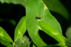 爬行在一片绿色叶子的一点黑色蚂蚁 宏指令 库存照片