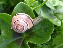 爬行在事假的小蜗牛 免版税图库摄影