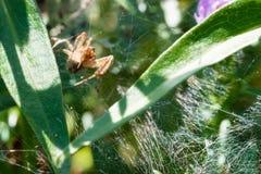 爬行在他的蜘蛛网的丑恶的蜘蛛 库存照片
