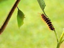 爬行在前面的一片叶子的一生锈的被打翻的页蝴蝶spiroeta epaphus的毛虫蛹弄脏了绿色背景 免版税图库摄影