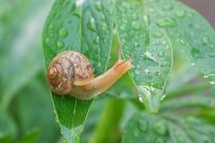 爬行在叶子的蜗牛盖用露水 免版税库存照片