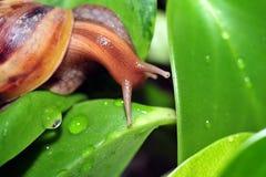 爬行在叶子的蜗牛 库存图片