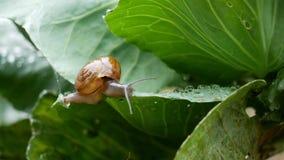 爬行在圆白菜叶子的小蜗牛在下雨中 影视素材