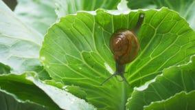 爬行在圆白菜叶子的小蜗牛在下雨中 股票录像