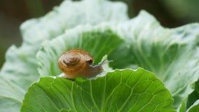 爬行在圆白菜叶子的小蜗牛在下雨中 股票视频