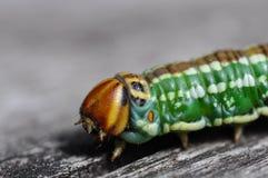 爬行在土气木头的美妙地色的毛虫在一个克洛 库存图片