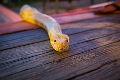爬行在地板上的大黄色缅甸Python 库存照片
