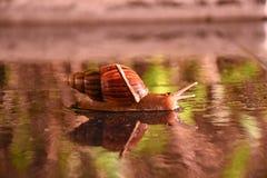 爬行在地板上的蜗牛 免版税图库摄影